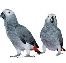 African Grey Parrot for sale in punjab