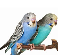 Budgerigars for sale in punjab