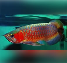 arowana-fish-Fengshui-in-jalandhar-for-sale