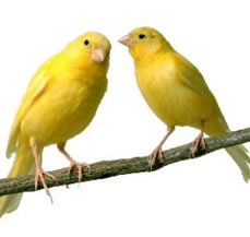canaries birds for sale in punjab