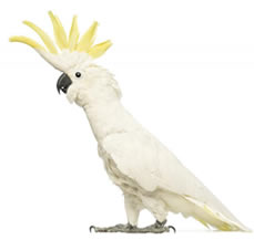 cockatoo birds for sale in jalandhar