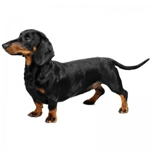 dachshund-dog-1
