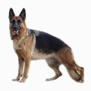 german-shepherd-in-jalandhar