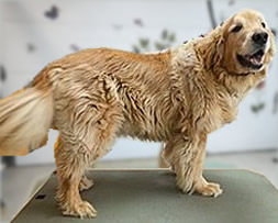 golden-before-bath
