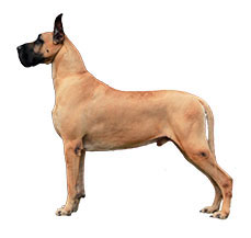 great-dane-pet-jalandhar