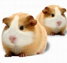 buy guinea-pig for sale in north india punjab