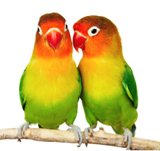 buy lovebirds for sale in jalandhar
