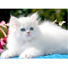 persian-cats-in-punjab-for-sale