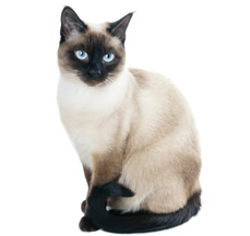 siamese-cat-for-sale-in-punjab
