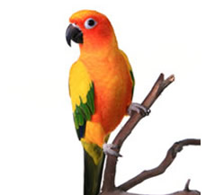 SunConure-for-sale-in-jalandhar