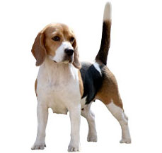 beagle-dog-buy-in-jalandhar