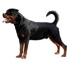 rottweiler-dogs-buy-in-jalandhar