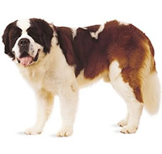 buy st.bernard in punjab